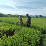 Agar Hasil Panen Melimpah Serda Pahari Dampingi Petani Desa Sugihrejo Basmi Hama Padi
